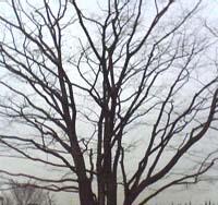 fuyu.tree.jpg